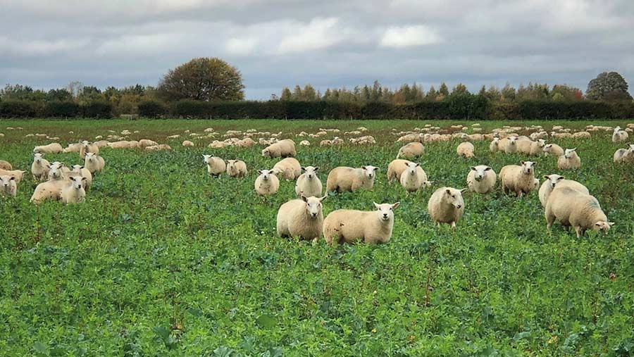 The sheep flock grazes OSR and companion crops © Ed Horton