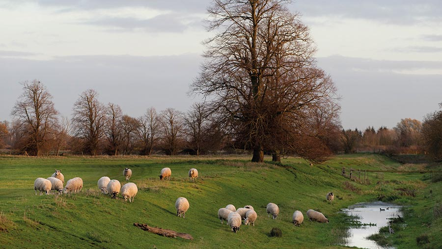 Sheep grazing by stream