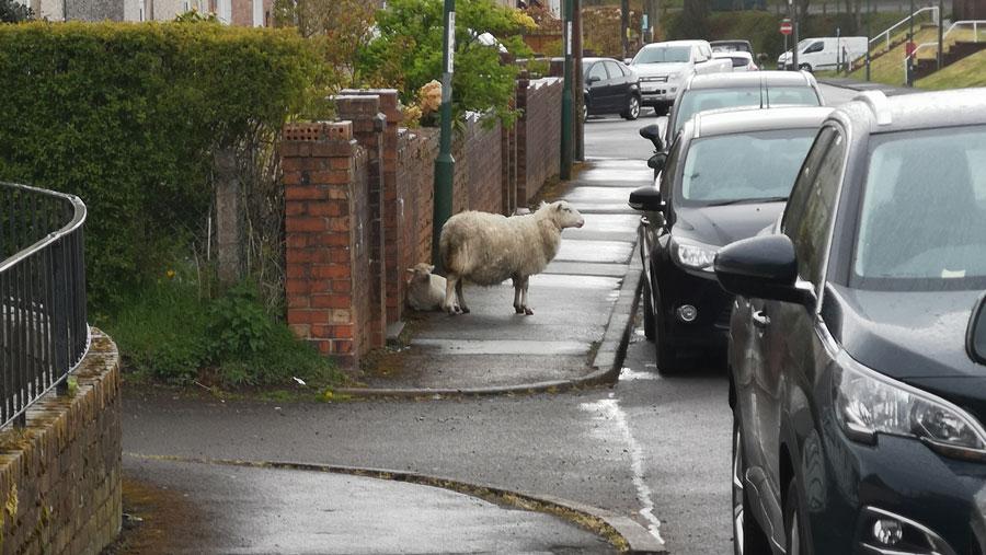 sheep in street