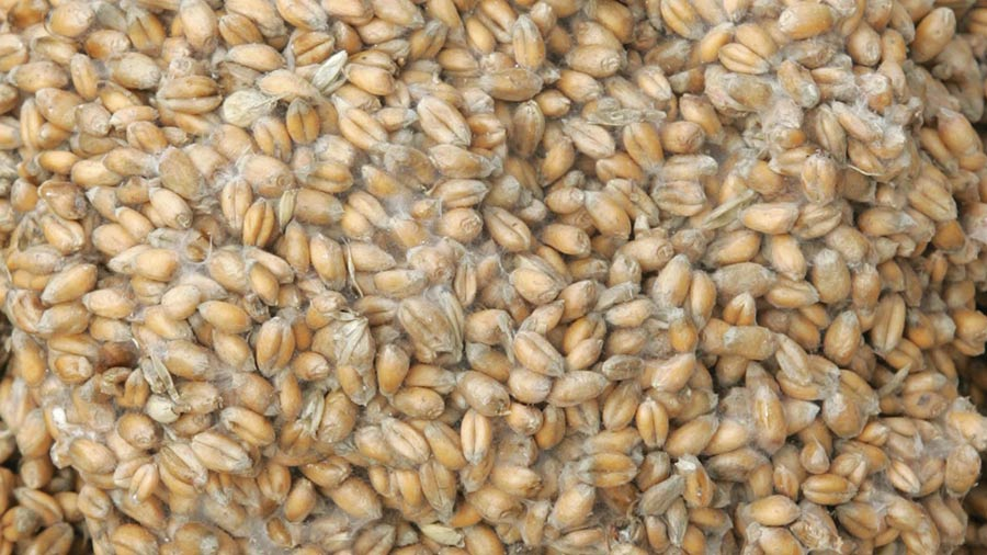 Deteriorated wheat in store