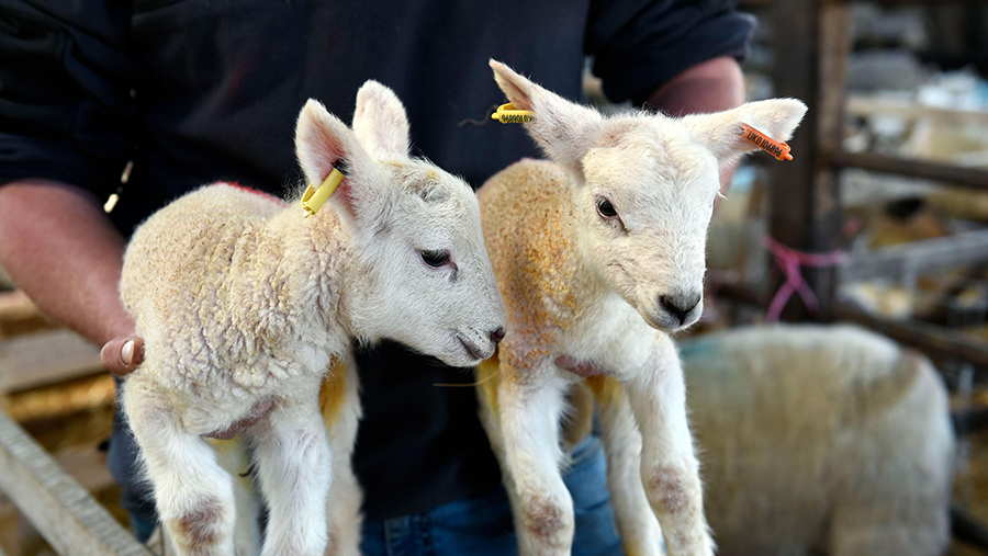 Tag even the youngest of lambs with lightweight TagFaster.