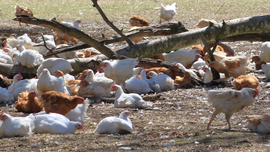 Free-range chickens outdoors on a sunny day