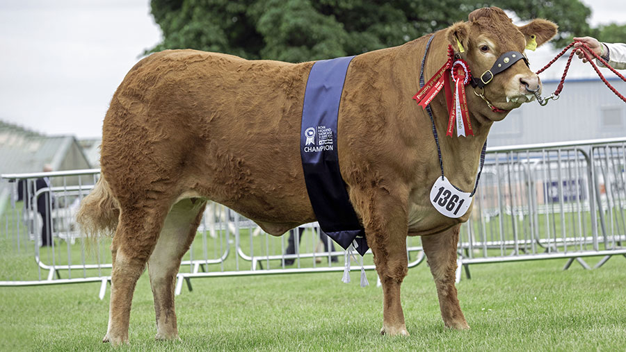 Grahams Precious took the continental interbreed championsip after dominating the Limousin class © Ron Stephen Agri images