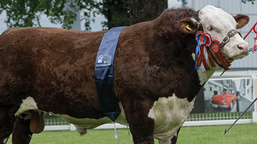 Moralee Rebel Kicks KS R12 from the Harrisons took the beef interbreed title © Ron Stephen