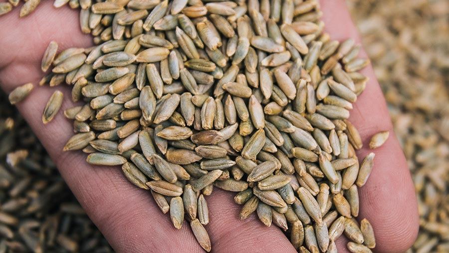 hybrid rye grain