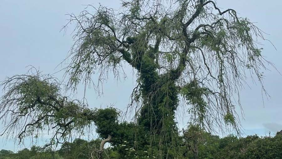Ash dieback should be tackled early, while the tree can be safely climbed © Savills