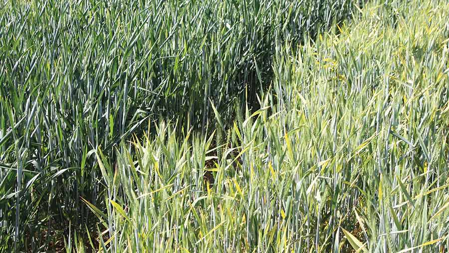 Wheat with the Bdv2 gene (left) and a non-Bdv2 crop © RAGT