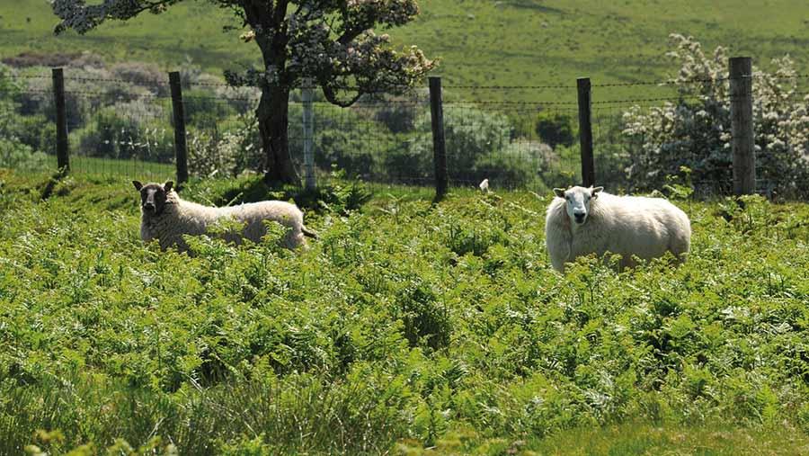 Sheep grazing on a hillsidee