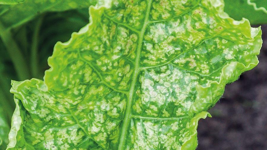 Speckles on sugar beet leaves indicating manganese deficiency