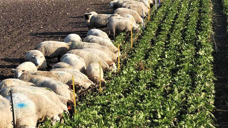 Ewes grazing on fodder beet