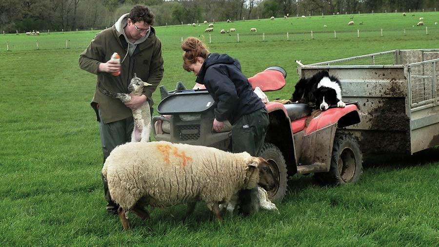 Nick and Menna Hulme tagging lambs