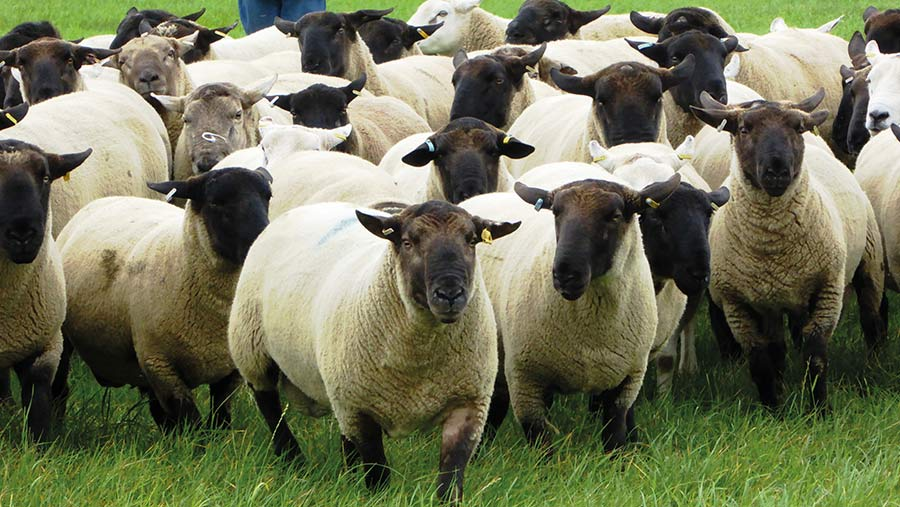 Shearling rams for sale © The Hulme family