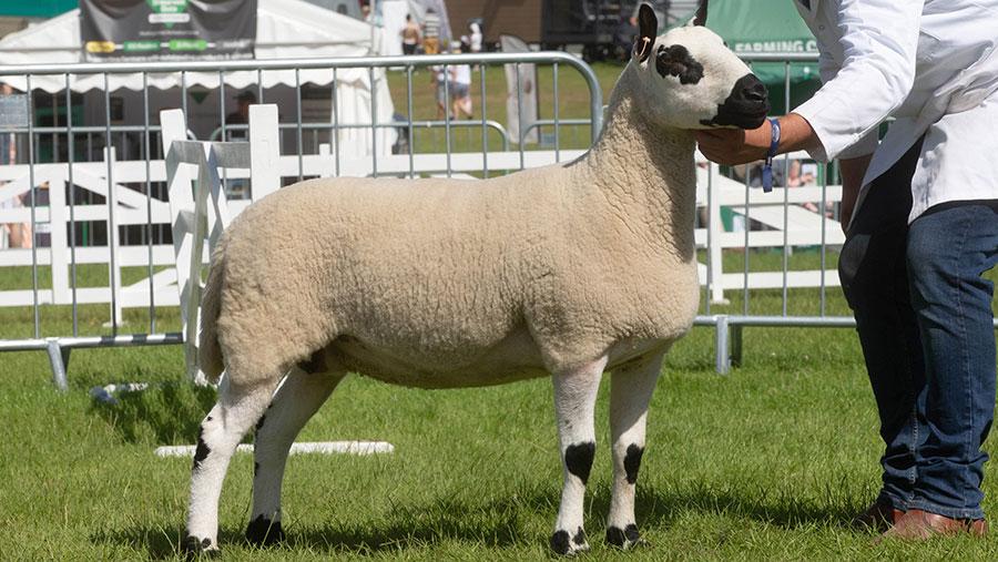 Kerry Hill Champion sheep