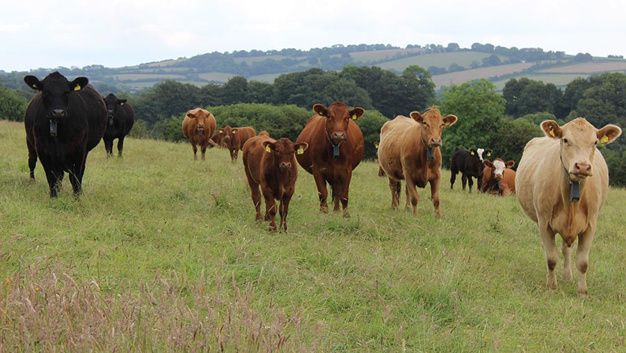 Cows and calves grazing