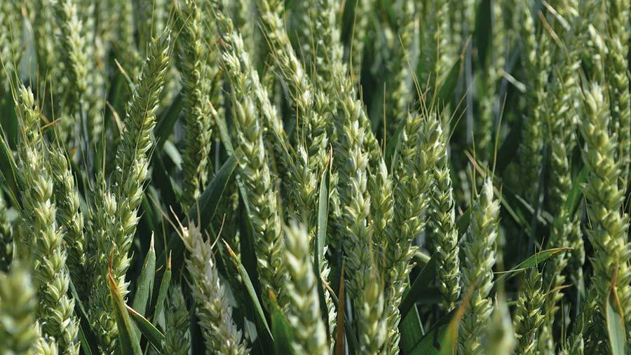 Extase wheat © MAG/David Jones