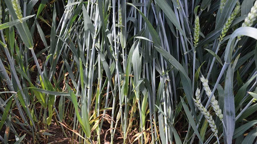 Saki wheat clean of disease