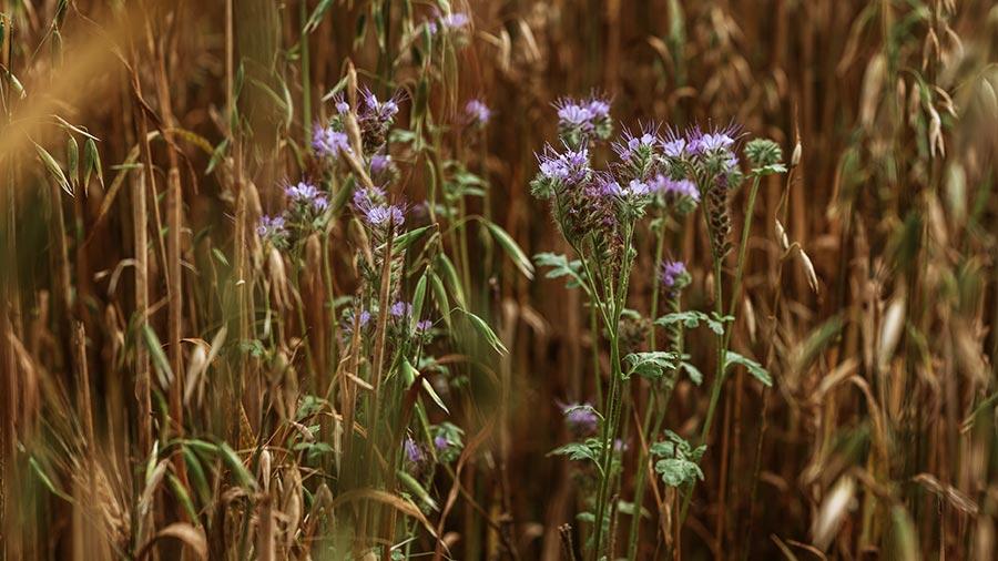 Warnhams Farm barley crop