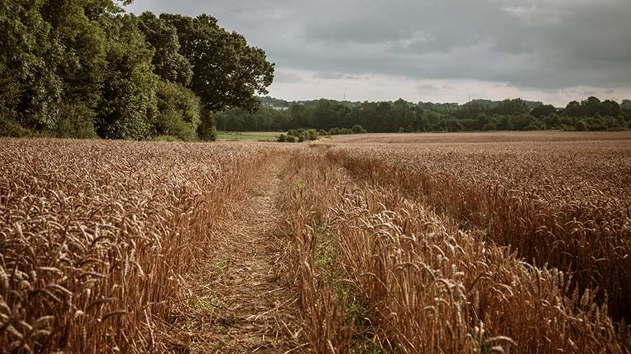 Wheat crop at Warnhams Farm