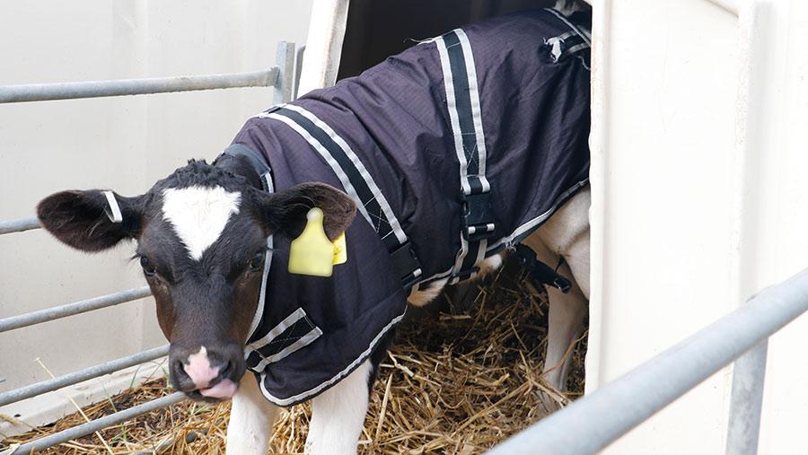Cosy Calf calf coat