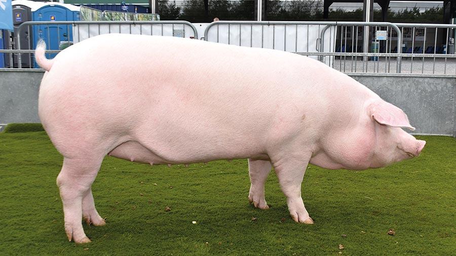 Pig interbreed champion Glenmarshal Frua