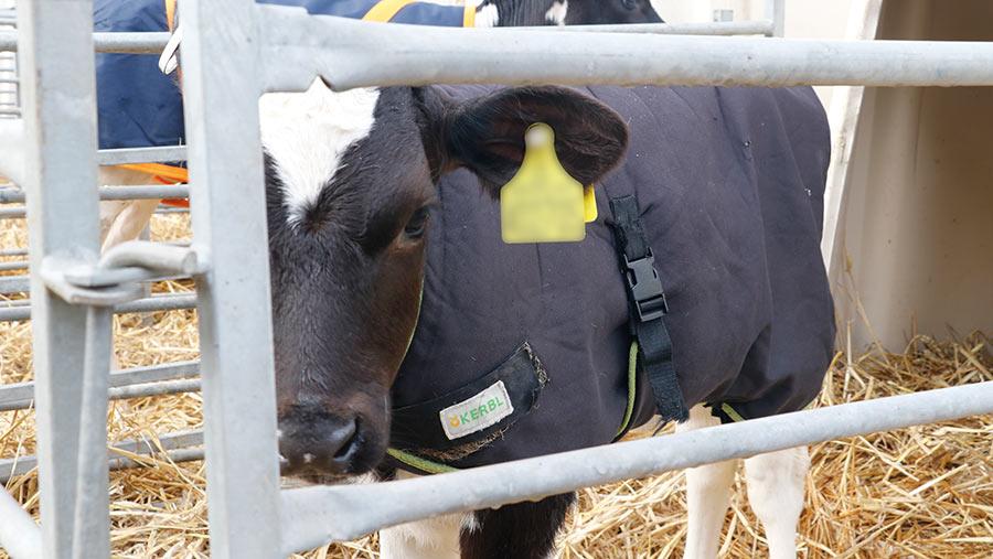 Kerbl calf coat