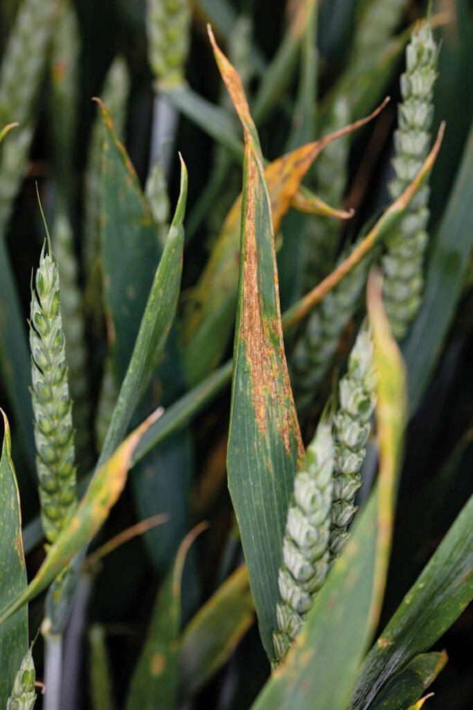 Septoria on winter wheat