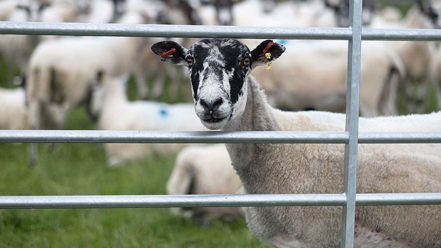 James McCartney's sheep flock © MAG/Colin Miller