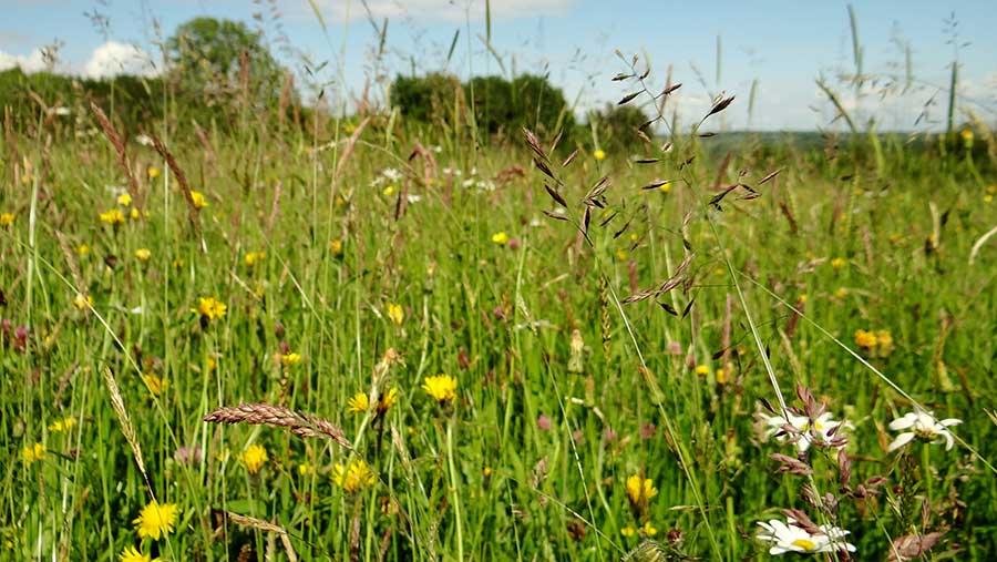 Wildflower meadow at Pentwyn Farm © Eirlys Howard