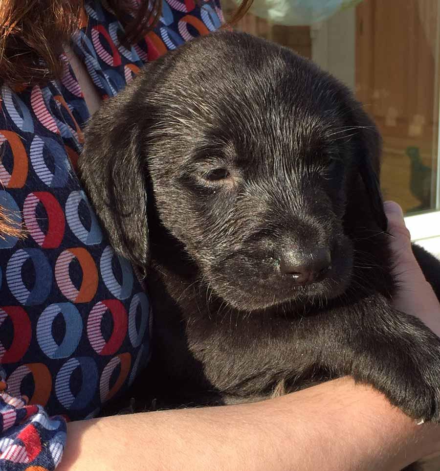 Labrador puppy Winston