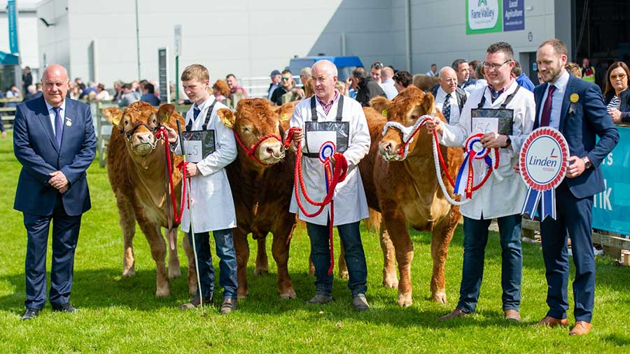 Limousins being showed at Balmoral Show 2018 © Robert Smith