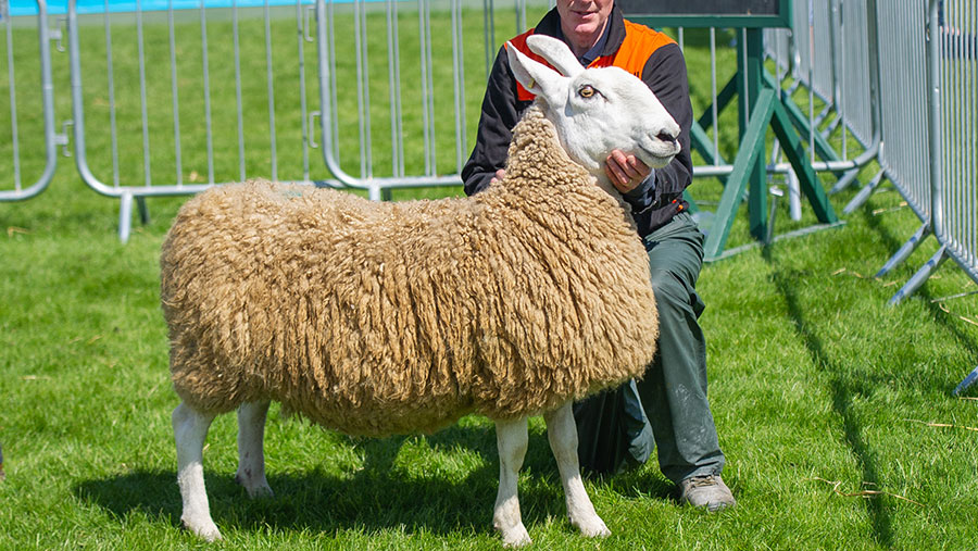 Ditton-sired aged ewe from Harold Dickey, Ballymena