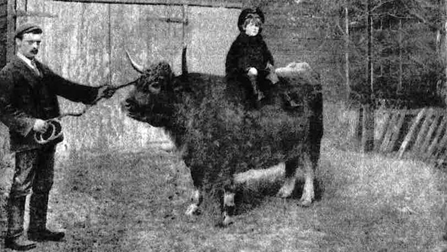 Young boy sat on bac of prize winning steer in 1906