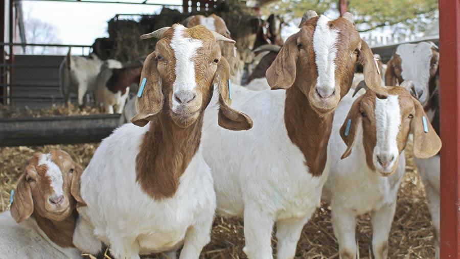 How A Young Farmer Developed A Goatmeat Business Farmers Weekly