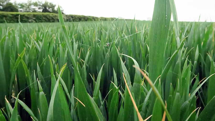 Winter wheat in Kent has struggled in dry conditions