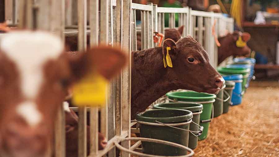 Dairy calves indoors