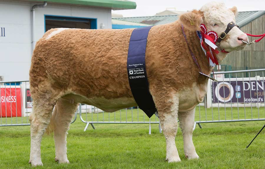 Simmental at the Royal Highland Show 2017