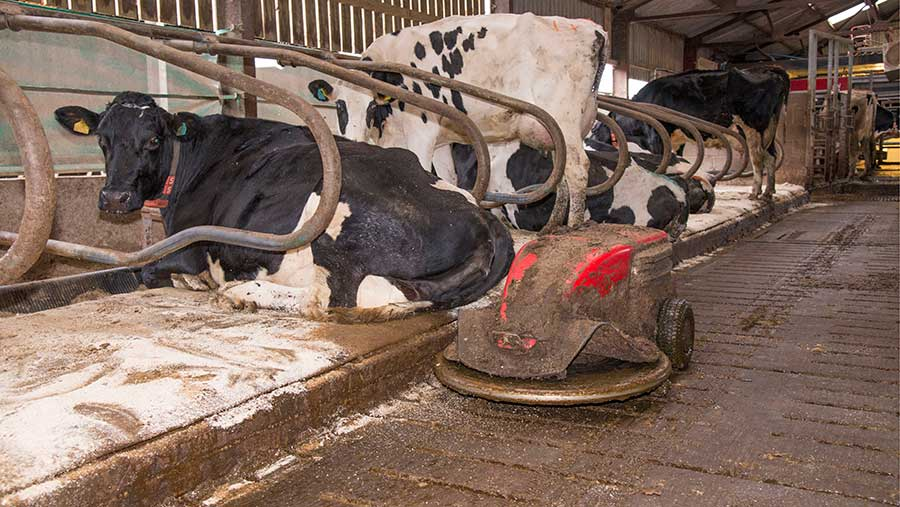 robot scraper operating in cubicle house with Holstein dairy cows