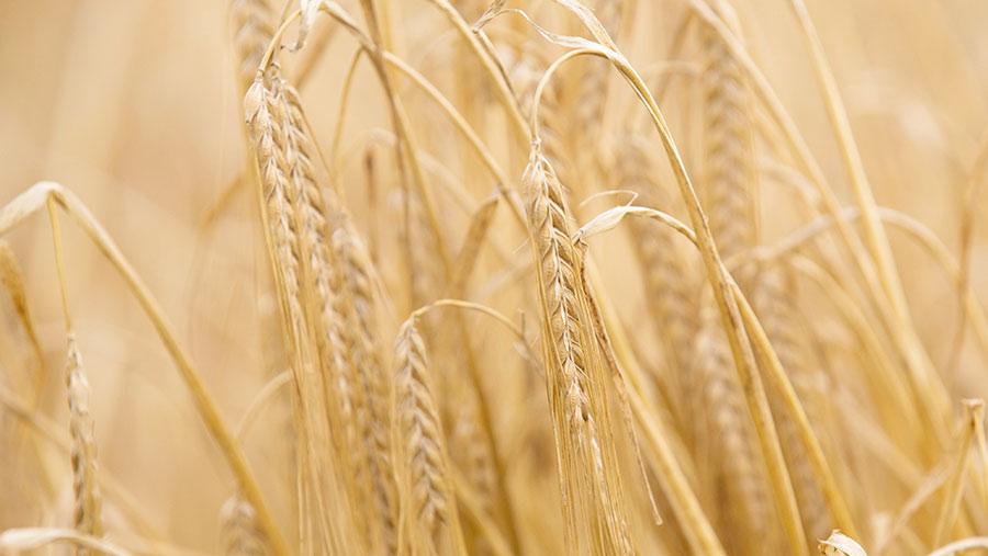 Spring barley © Tim Scrivener