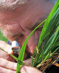 Bill Clark gets a closer look at disease on wheat © Oli Hill/RBI