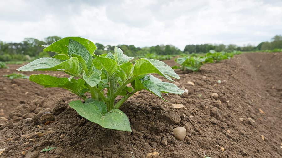 Close-up of young potato plant