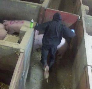 CCTV still of man about to kick pig