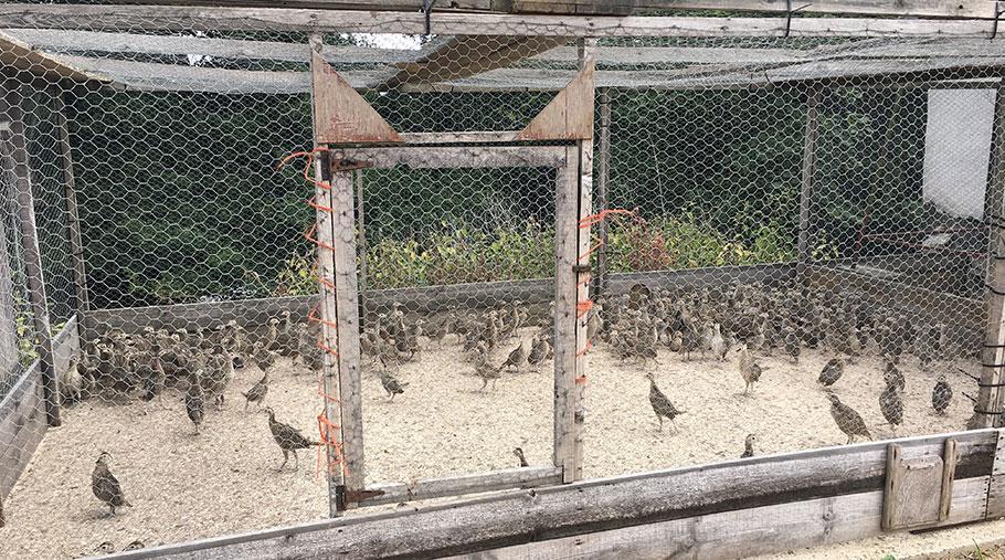 Pheasants in a pen