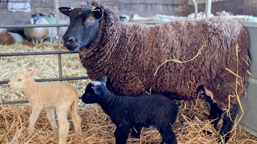 Two lambs in a pen