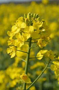 OSR plant is early flowering
