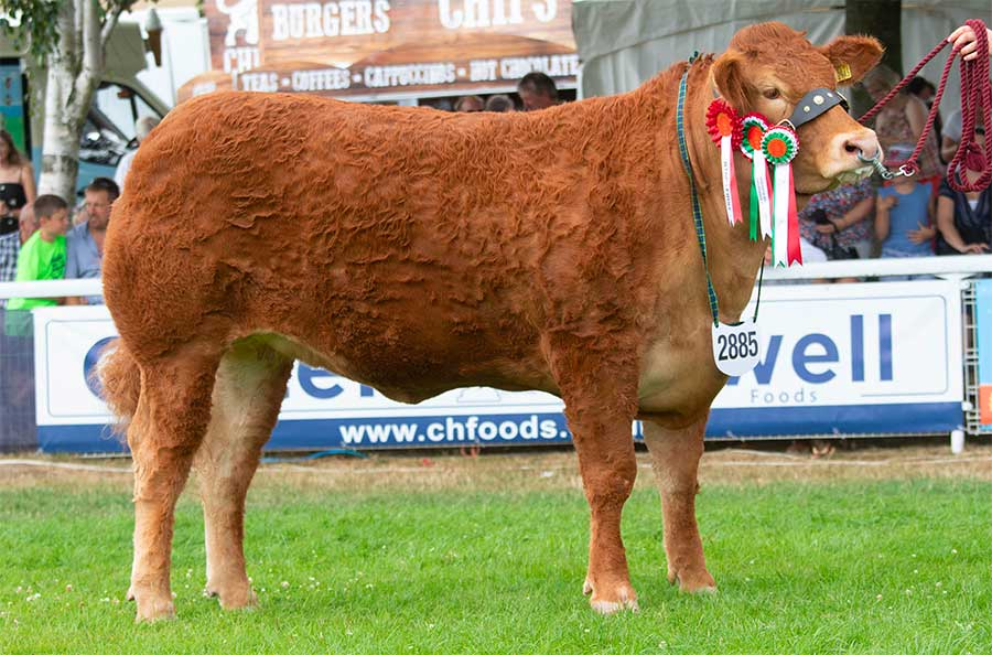 Limousin reserve interbreed champion Grahams Melody