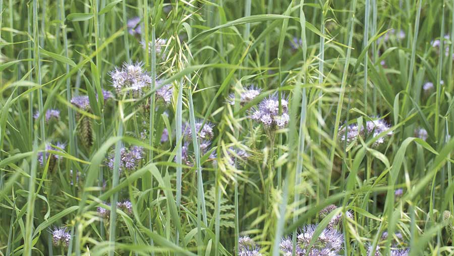 Catch and cover crops, Black oat and phacelia © Tim Scrivener
