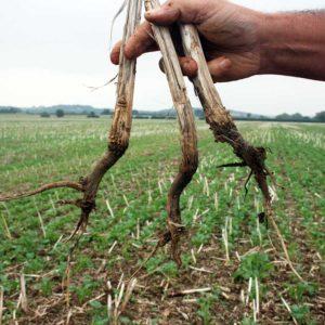 Oilseed rape stubble showing bad rooting © Oli Hill/RBI