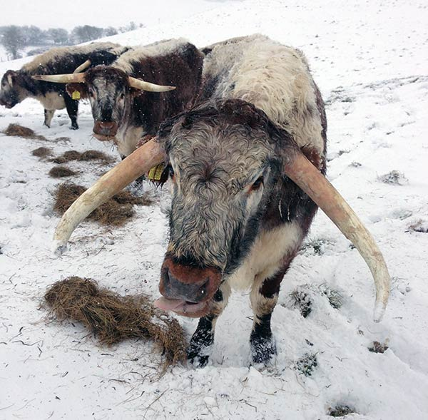 Longhorns in the snow