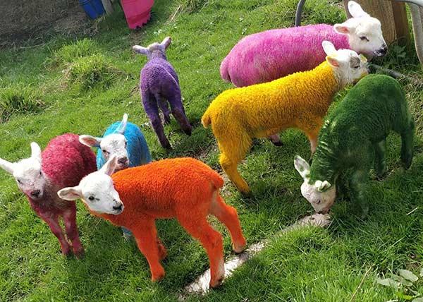 Colourful lambs Becky Breakspear