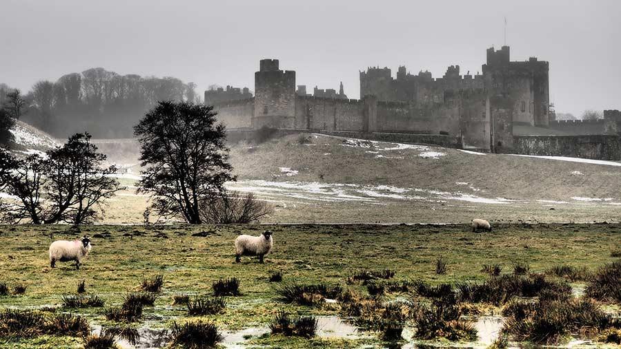 Sheep grazing near Alnwick Castle